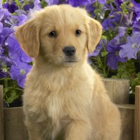 Cute-Brown-Dog