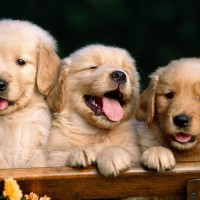 Cute-Puppies-Wallpaper