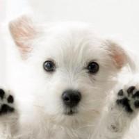 Cute-White-Dog