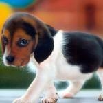 Puppy eye beagle